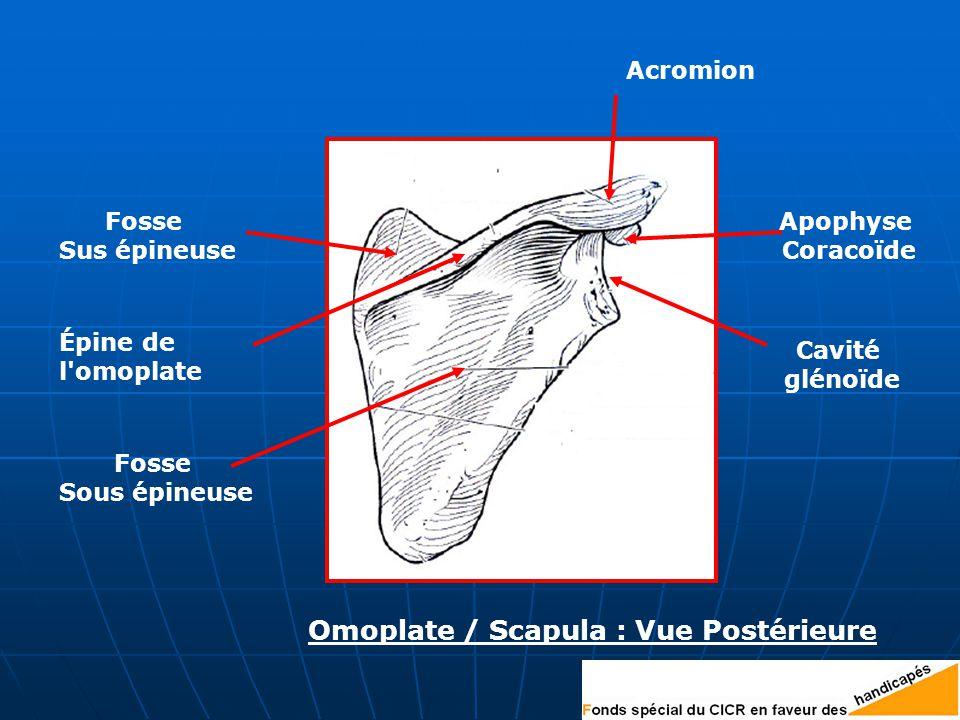 Omoplate / Scapula : Vue Postérieure