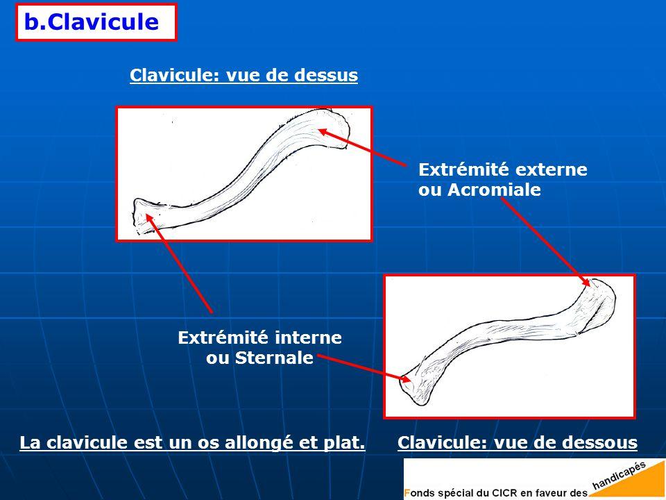 b.Clavicule Clavicule: vue de dessus Extrémité externe ou Acromiale