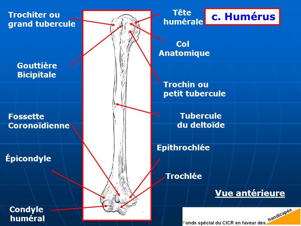c. Humérus Vue antérieure Tête Trochiter ou humérale grand tubercule