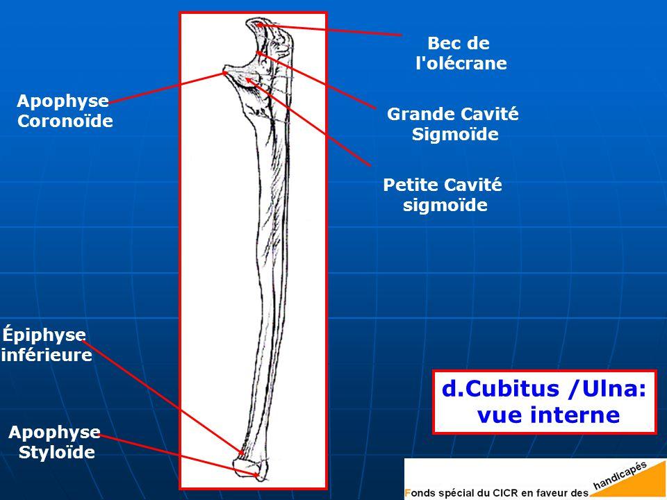 d.Cubitus /Ulna: vue interne