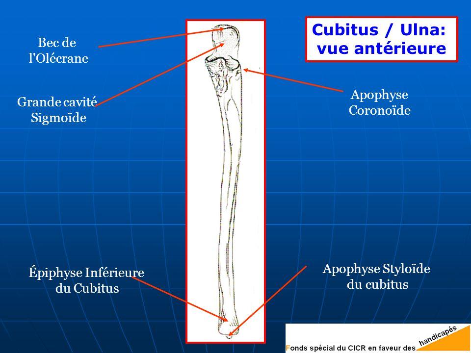 Cubitus / Ulna: vue antérieure