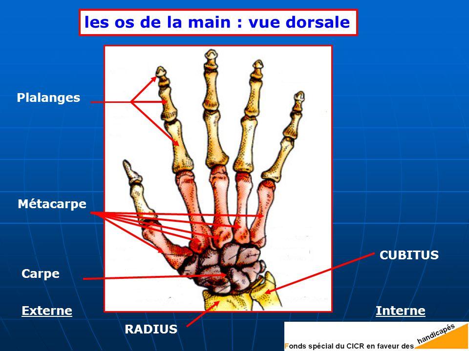 les os de la main : vue dorsale