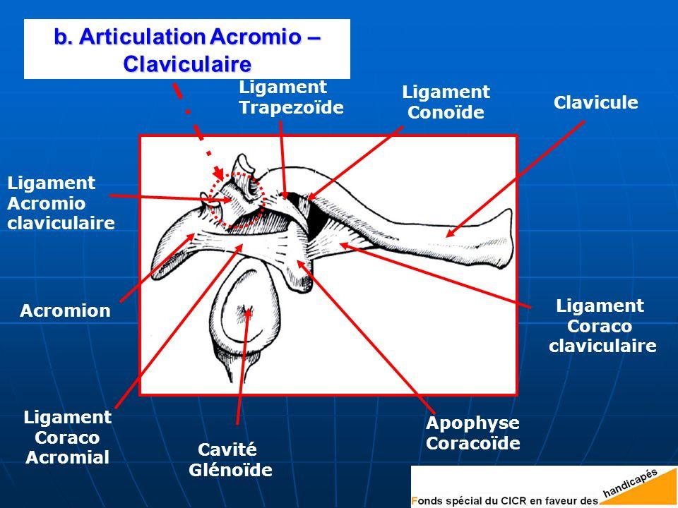 b. Articulation Acromio – Claviculaire