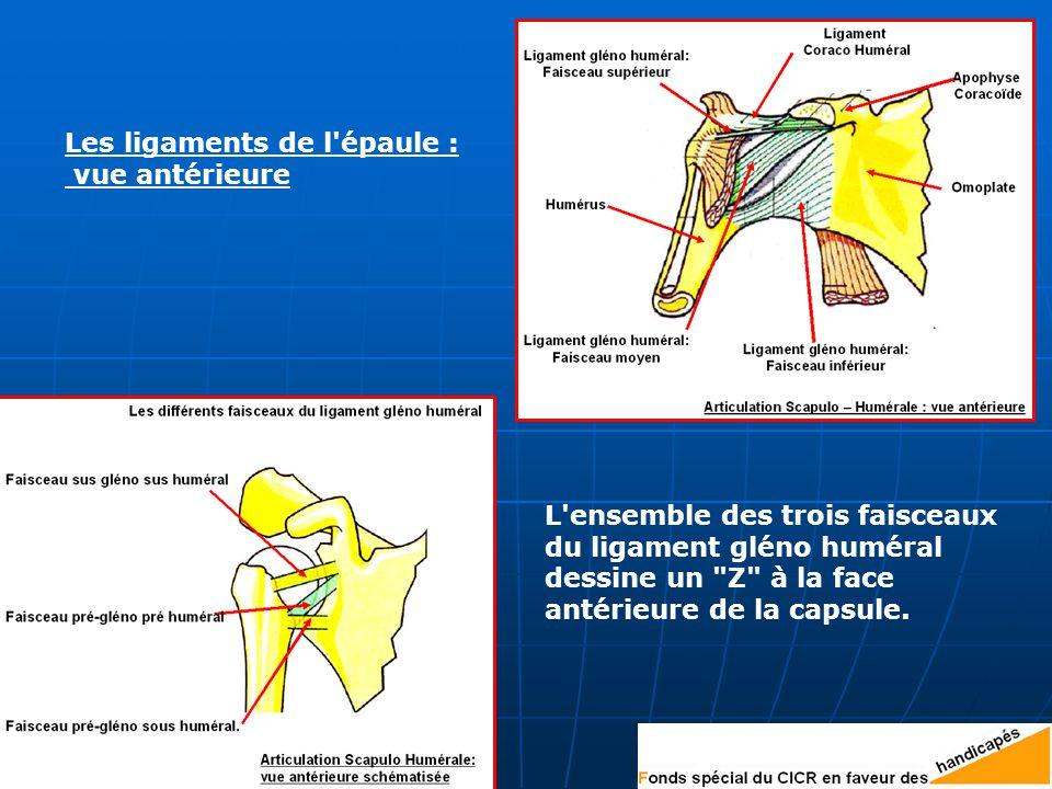 Les ligaments de l épaule :