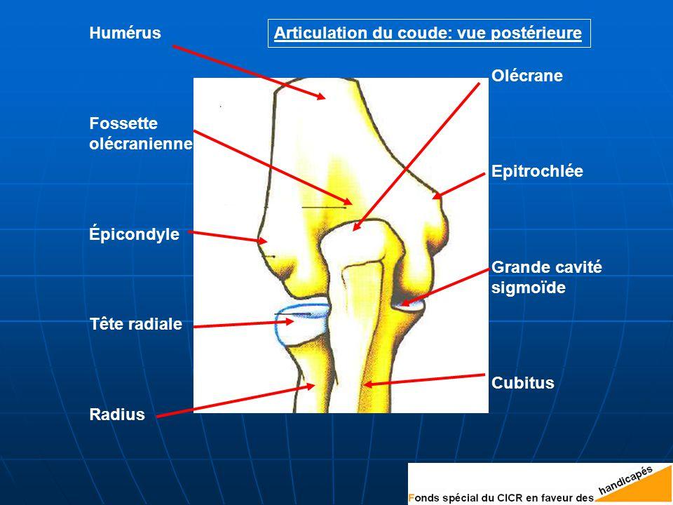 Humérus Articulation du coude: vue postérieure. Olécrane. Fossette. olécranienne. Epitrochlée. Épicondyle.