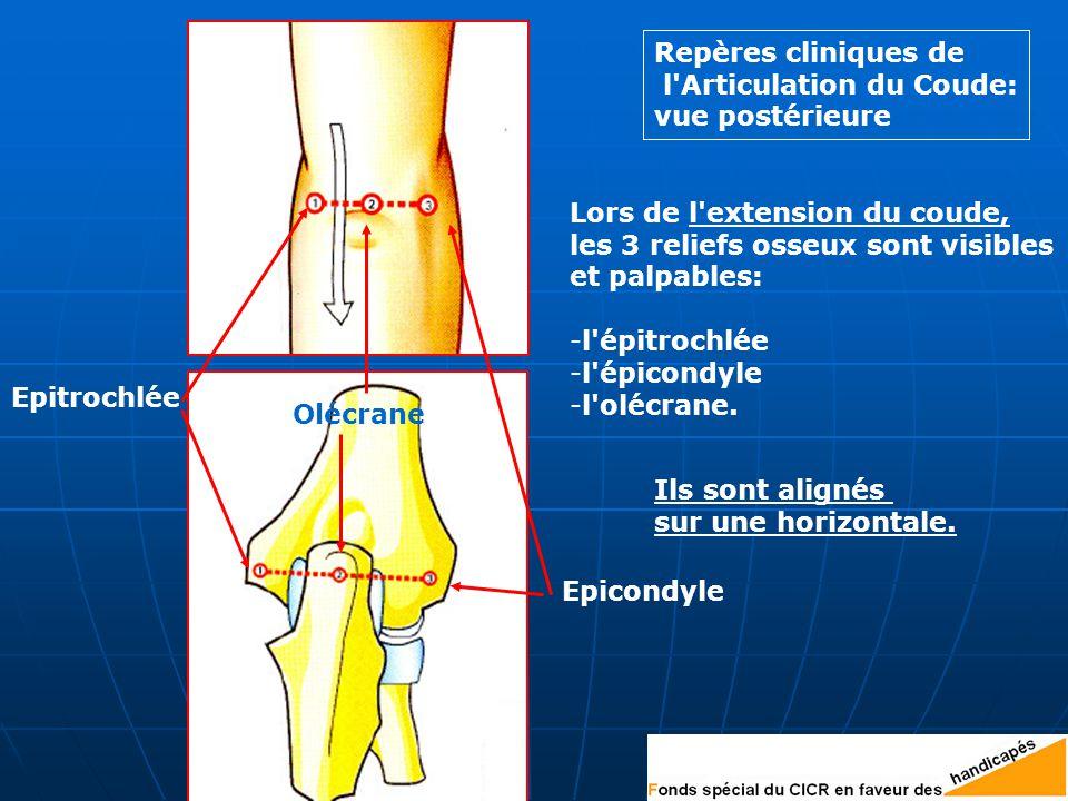 Epitrochlée Epicondyle. Olécrane. Repères cliniques de. l Articulation du Coude: vue postérieure.