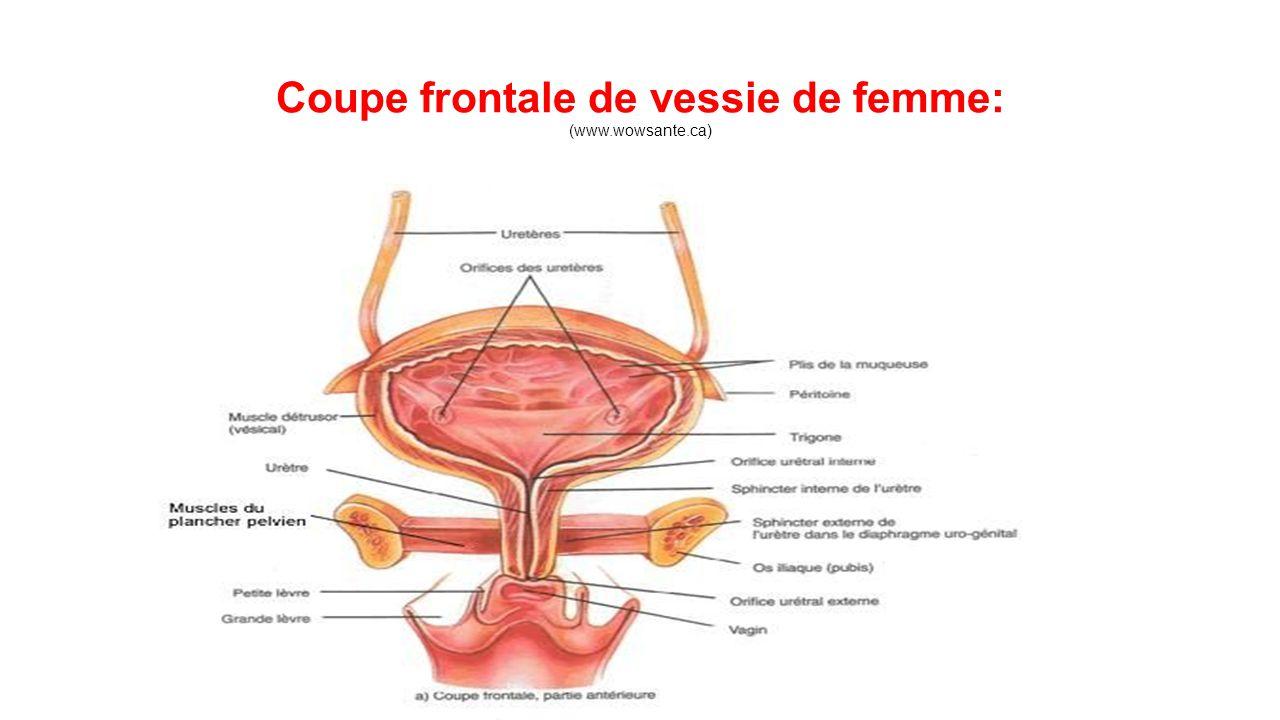 Coupe frontale de vessie de femme: (www.wowsante.ca)