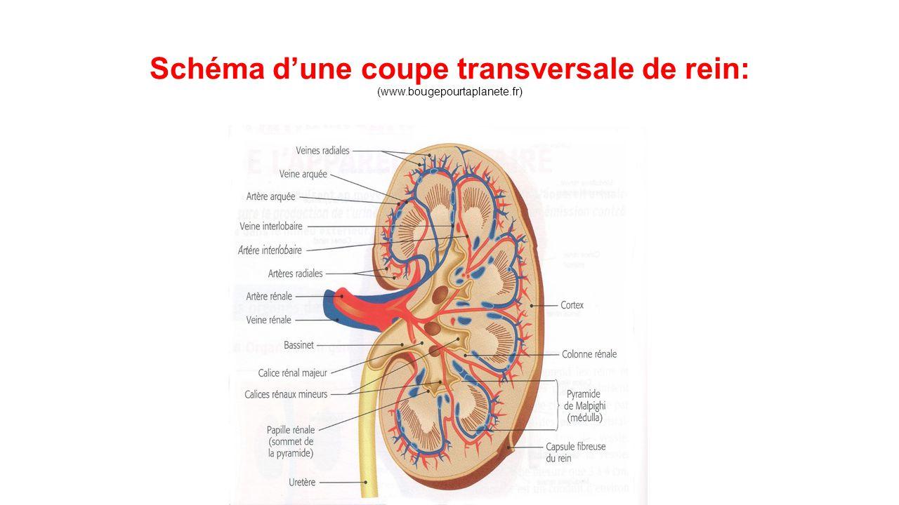 Schéma d'une coupe transversale de rein: (www.bougepourtaplanete.fr)