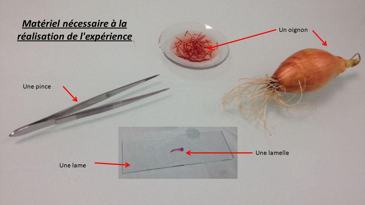 m thode d observation d 39 une cellule d 39 oignon au microscope ppt t l charger. Black Bedroom Furniture Sets. Home Design Ideas