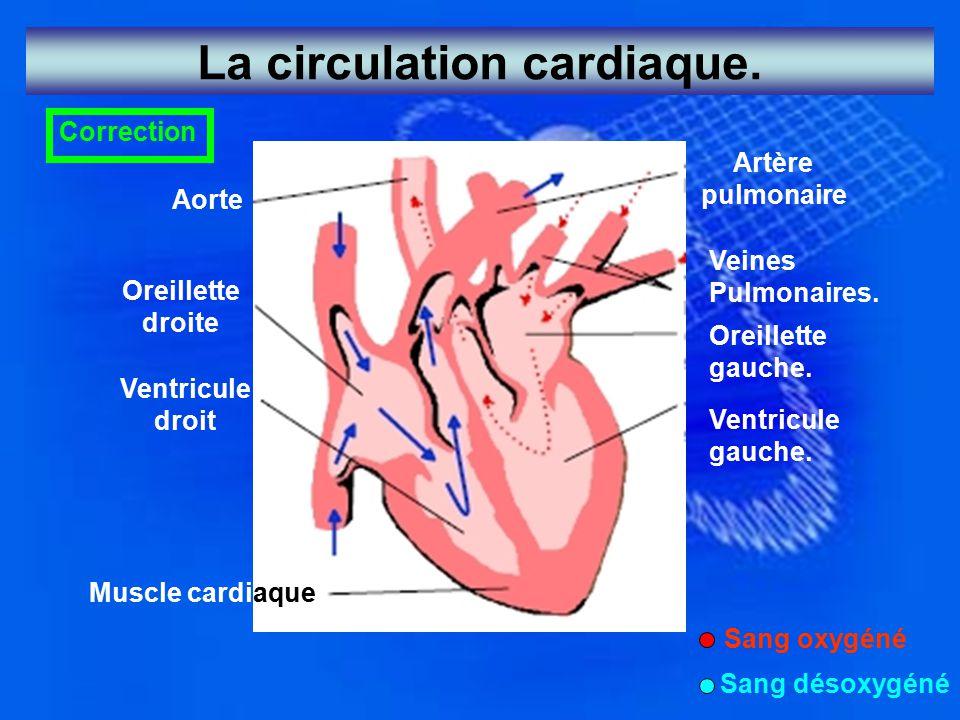 La circulation cardiaque.