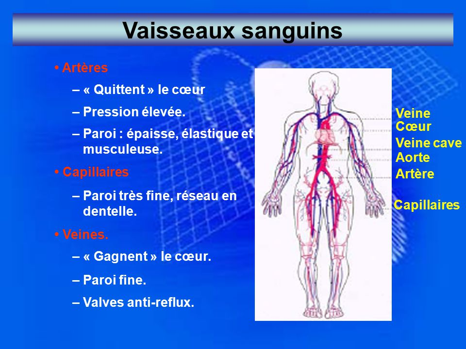 Vaisseaux sanguins • Artères – « Quittent » le cœur – Pression élevée.