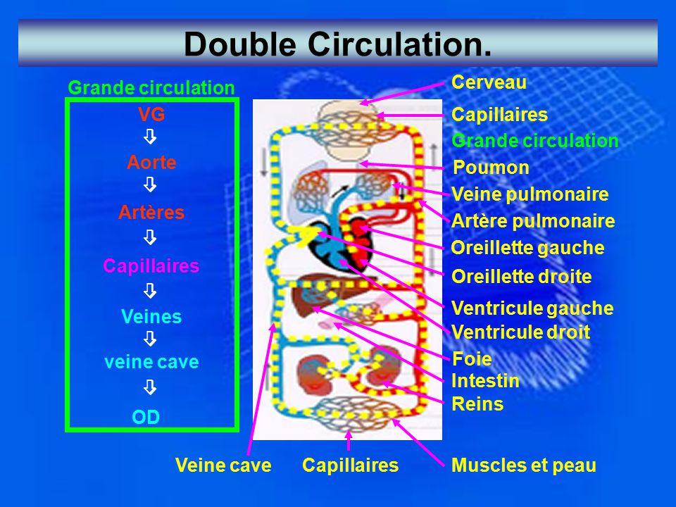 Double Circulation. Cerveau Grande circulation VG Capillaires 