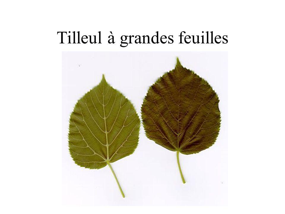 Ch ne rouvre ppt video online t l charger - Tilleul a grandes feuilles ...