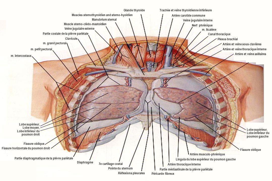 Gemütlich Lungen Fissur Anatomie Zeitgenössisch - Anatomie Von ...