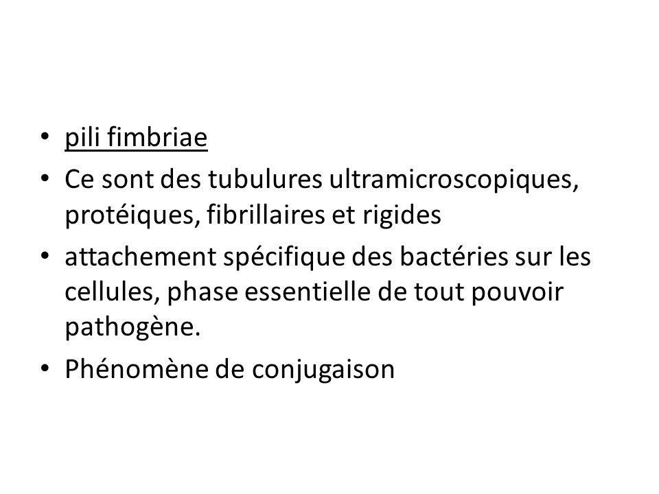 pili fimbriae Ce sont des tubulures ultramicroscopiques, protéiques, fibrillaires et rigides.