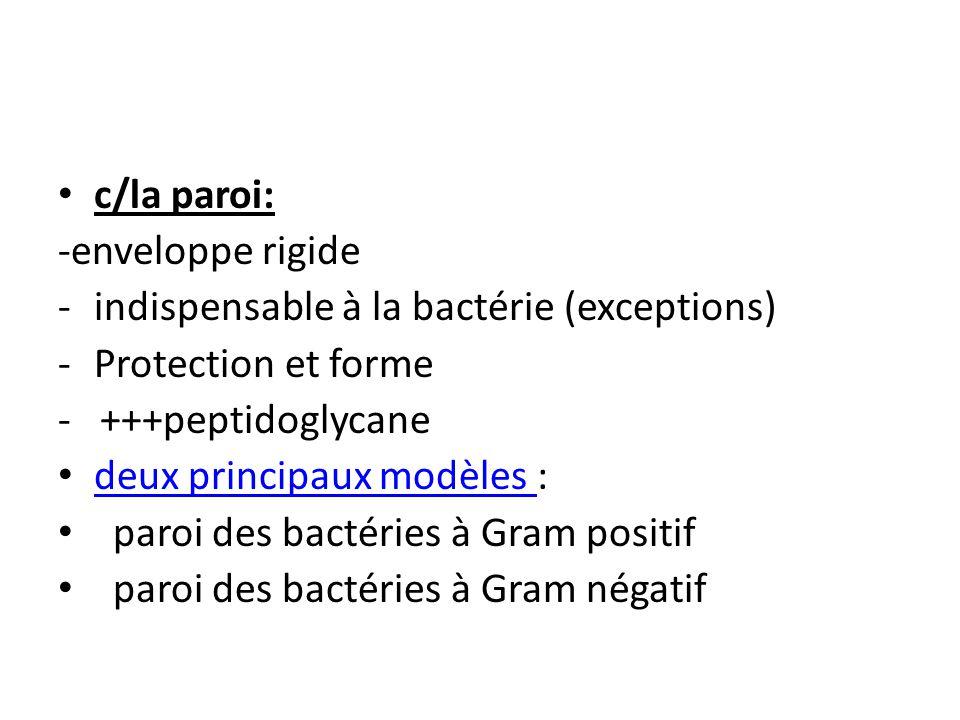c/la paroi: -enveloppe rigide. indispensable à la bactérie (exceptions) Protection et forme. - +++peptidoglycane.