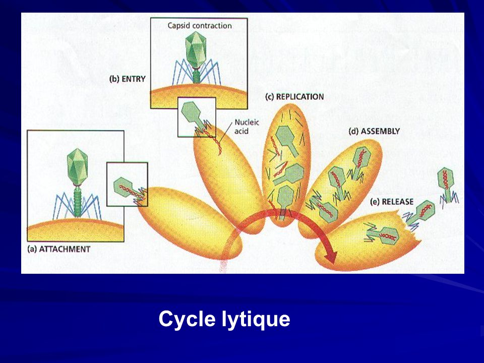Cycle lytique