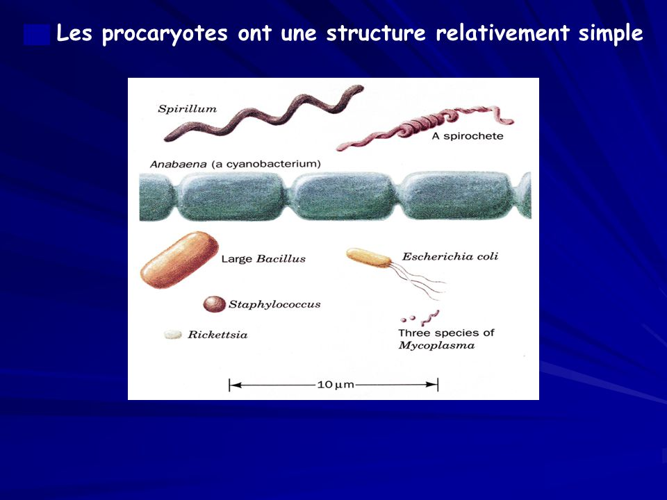a. Les procaryotes ont une structure relativement simple