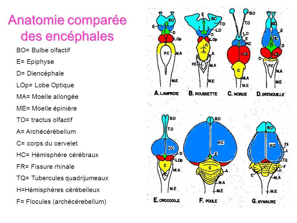 Anatomie comparée des encéphales