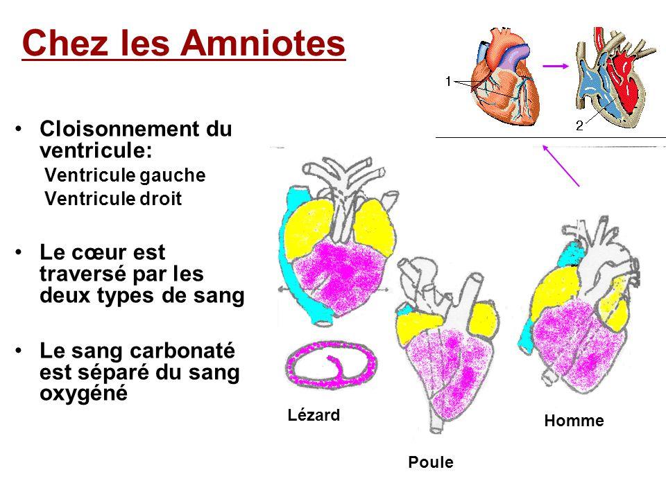 Chez les Amniotes Cloisonnement du ventricule: