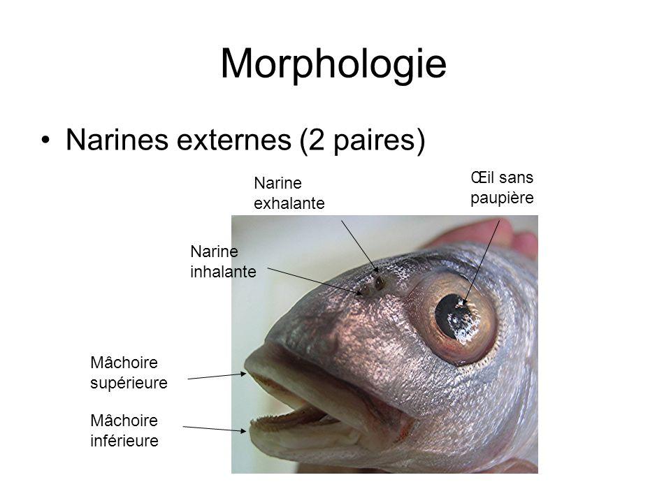 Morphologie Narines externes (2 paires) Œil sans paupière