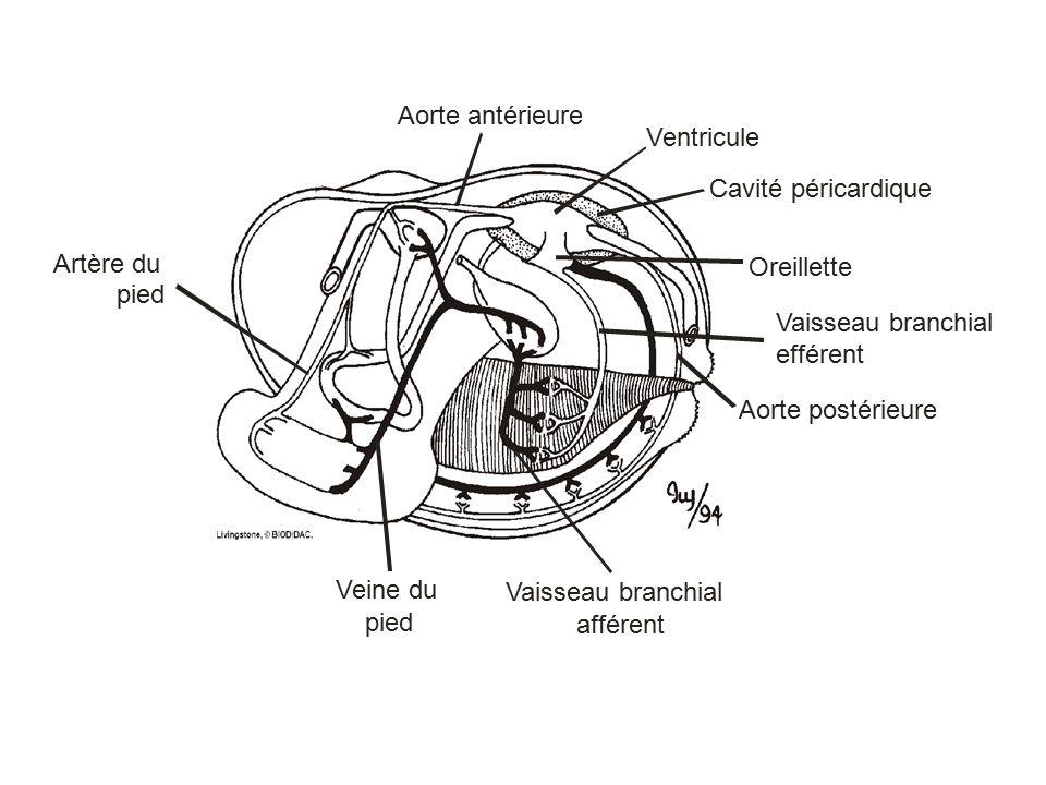 Veine du pied. Vaisseau branchial. efférent. afférent. Artère du. Cavité péricardique. Aorte postérieure.