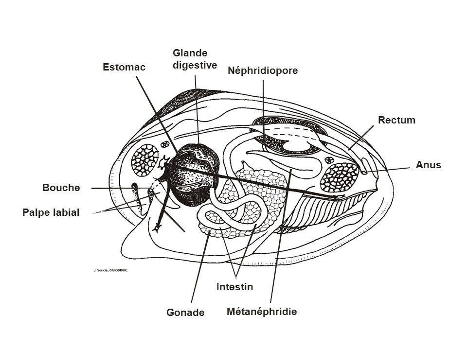 Anus Rectum. Néphridiopore. Estomac. Glande. digestive. Bouche. Palpe labial. Gonade. Métanéphridie.