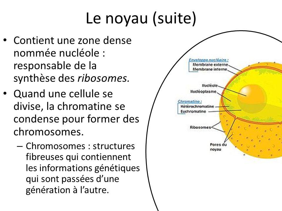 Le noyau (suite) Contient une zone dense nommée nucléole : responsable de la synthèse des ribosomes.