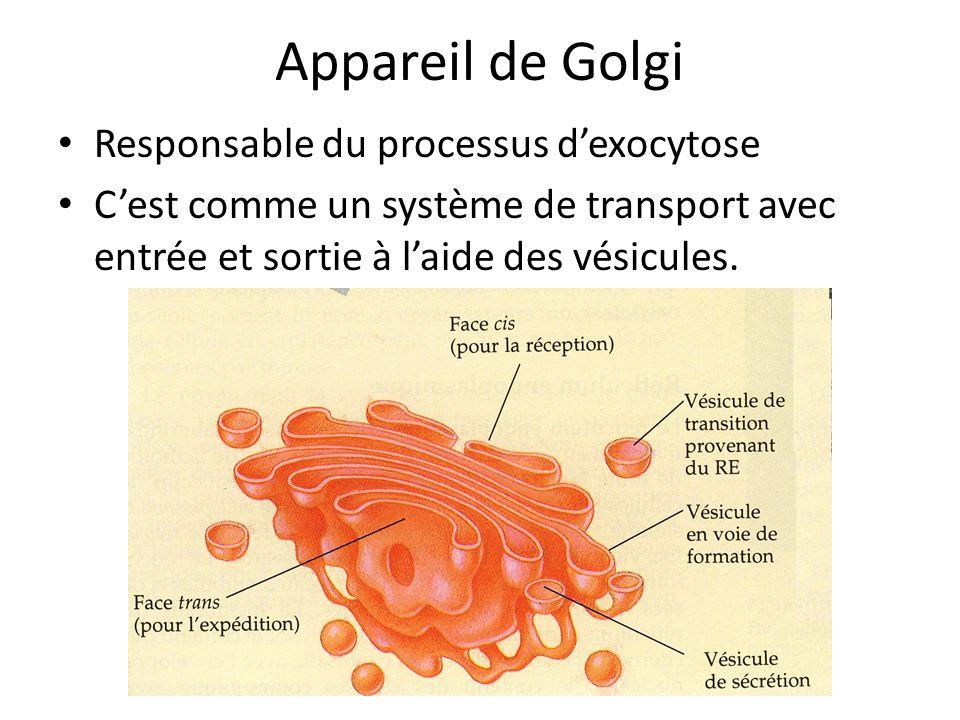 Appareil de Golgi Responsable du processus d'exocytose
