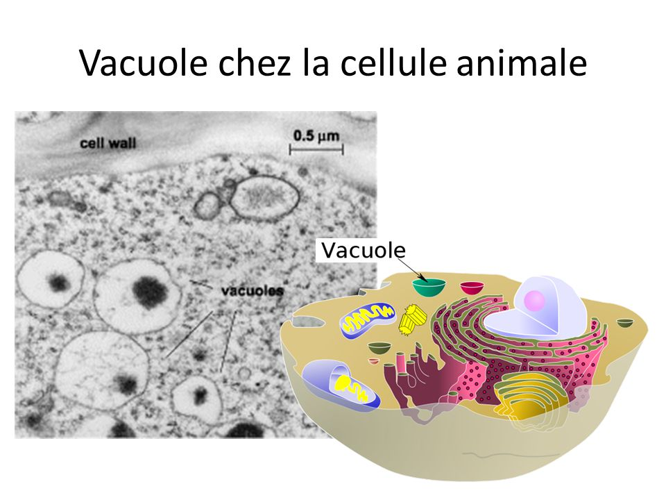 Vacuole chez la cellule animale