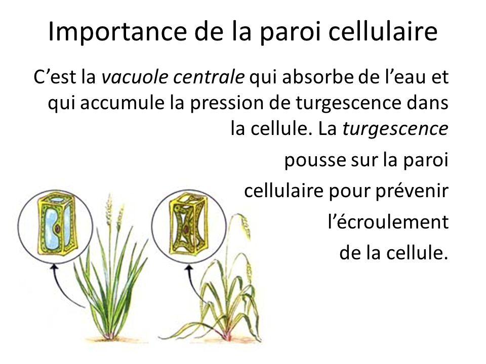 Importance de la paroi cellulaire