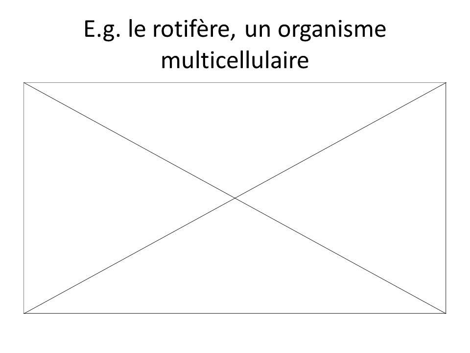 E.g. le rotifère, un organisme multicellulaire