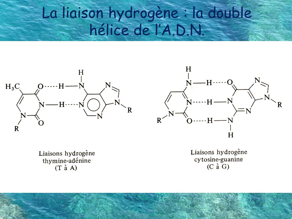 La liaison hydrogène : la double hélice de l'A.D.N.