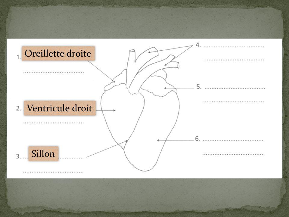 Oreillette droite Ventricule droit Sillon