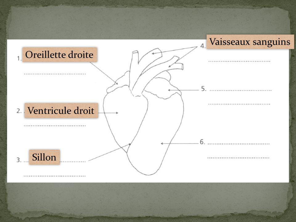 Vaisseaux sanguins Oreillette droite Ventricule droit Sillon