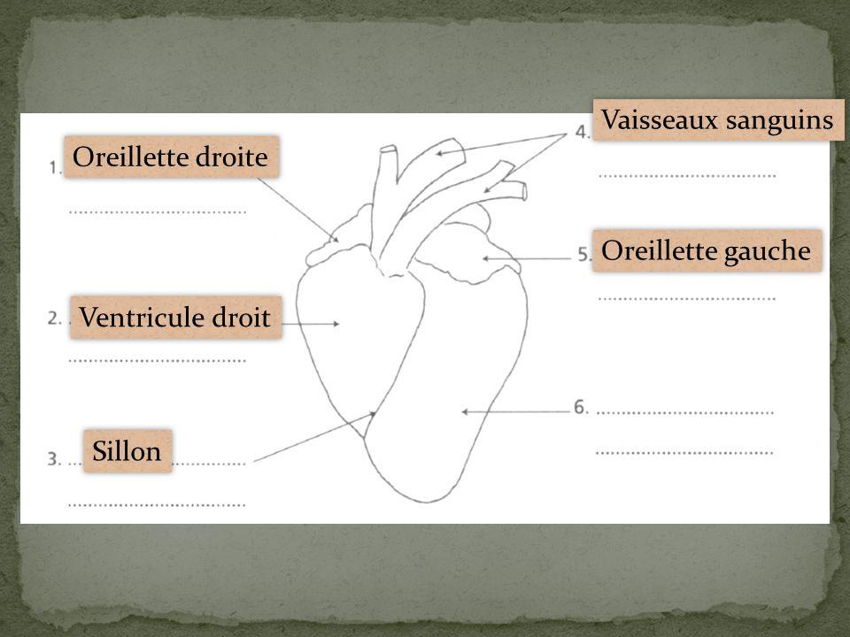 Vaisseaux sanguins Oreillette droite Oreillette gauche Ventricule droit Sillon