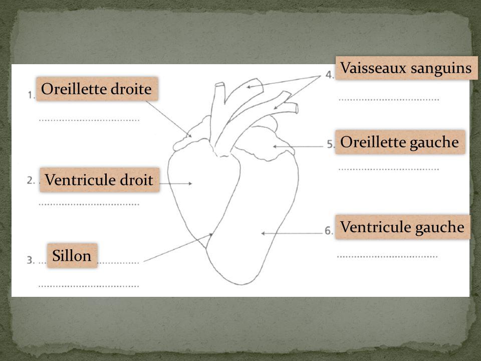 Vaisseaux sanguins Oreillette droite Oreillette gauche Ventricule droit Ventricule gauche Sillon