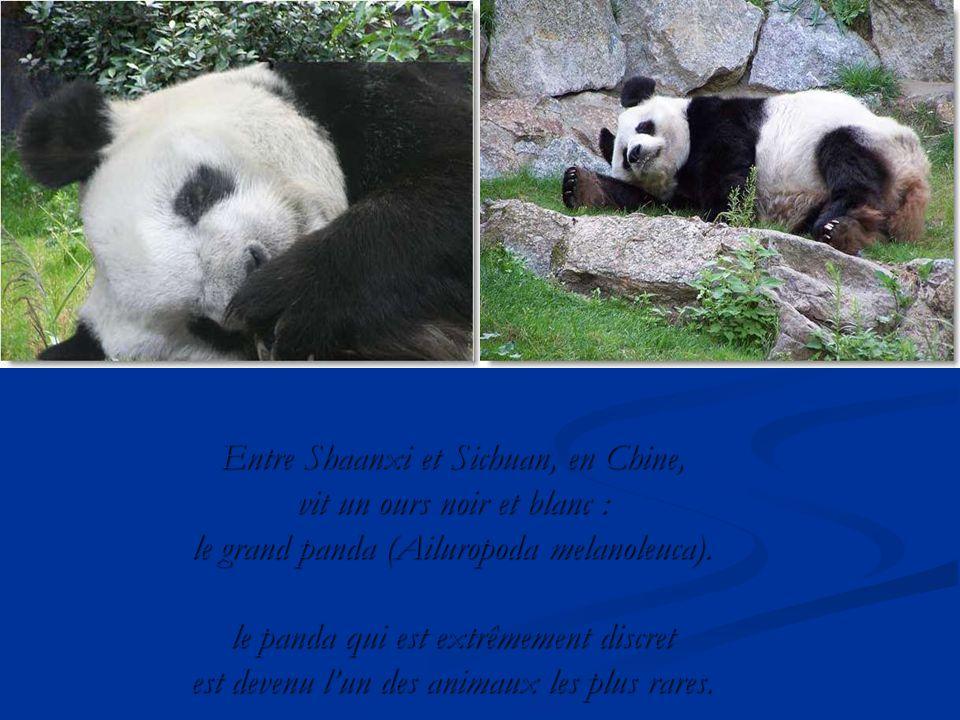 tout savoir sur les pandas en faisant de multiples recherches j ai d couvert qu il y avait 2. Black Bedroom Furniture Sets. Home Design Ideas