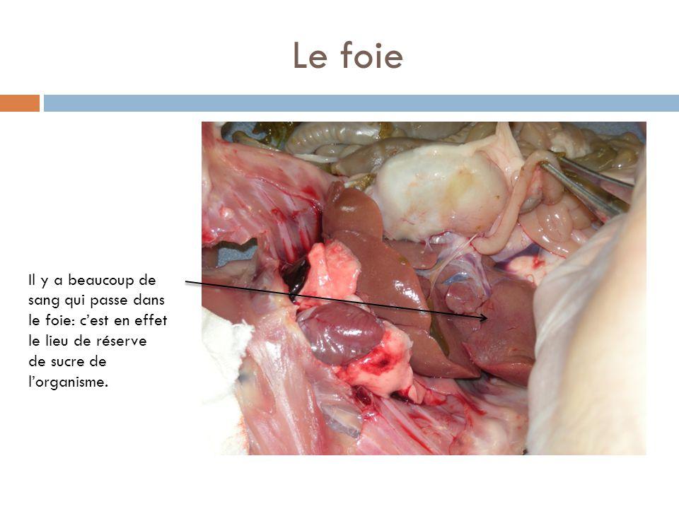 Le foie Il y a beaucoup de sang qui passe dans le foie: c'est en effet le lieu de réserve de sucre de l'organisme.
