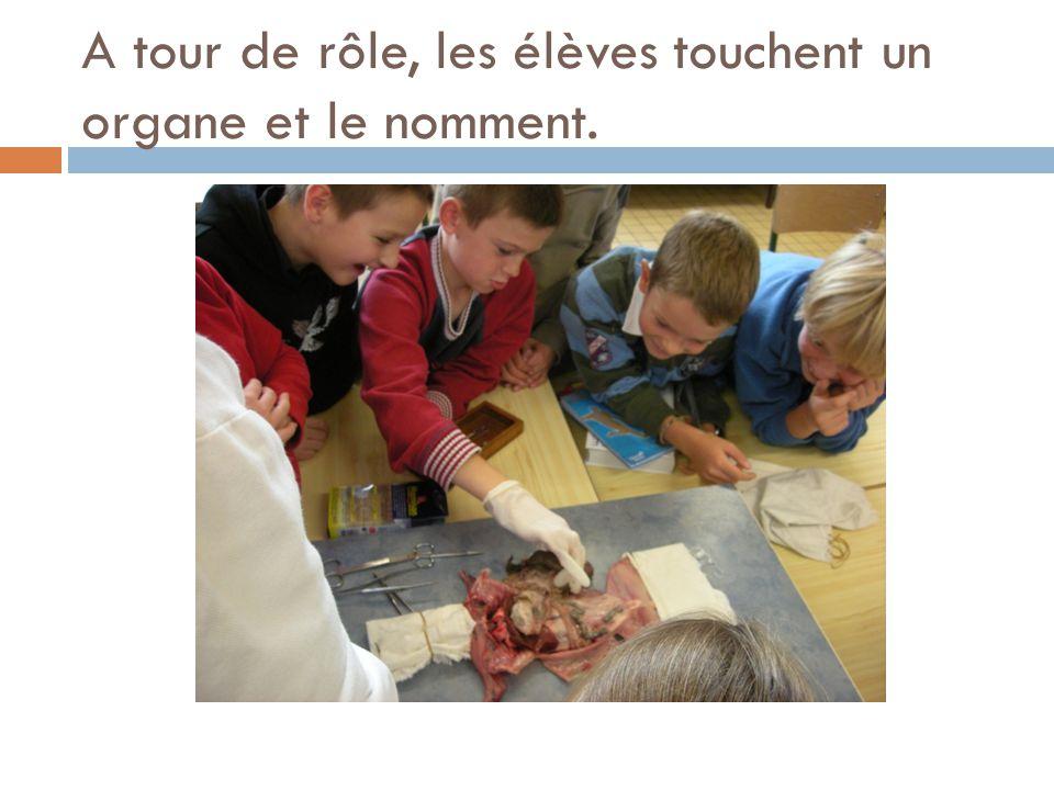 A tour de rôle, les élèves touchent un organe et le nomment.