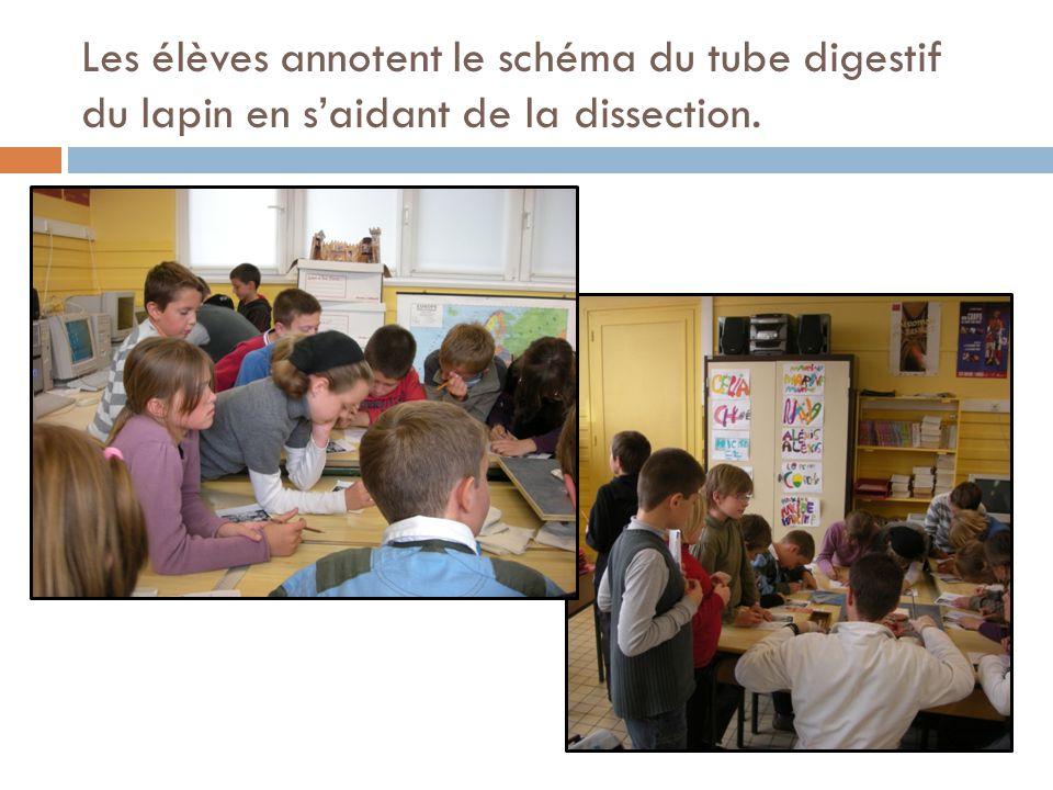 Les élèves annotent le schéma du tube digestif du lapin en s'aidant de la dissection.