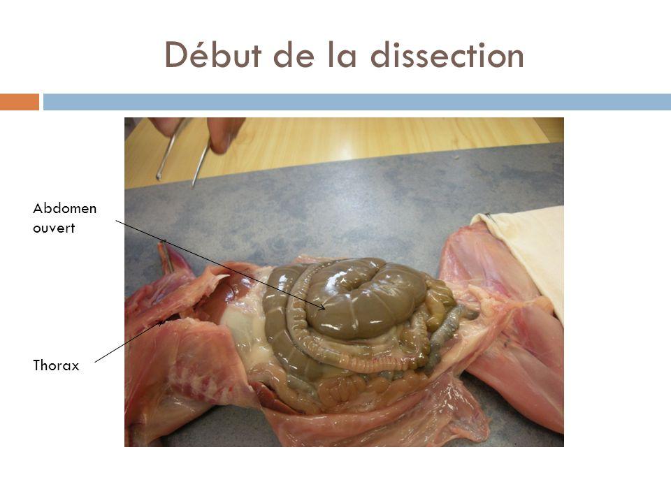 Début de la dissection Abdomen ouvert Thorax
