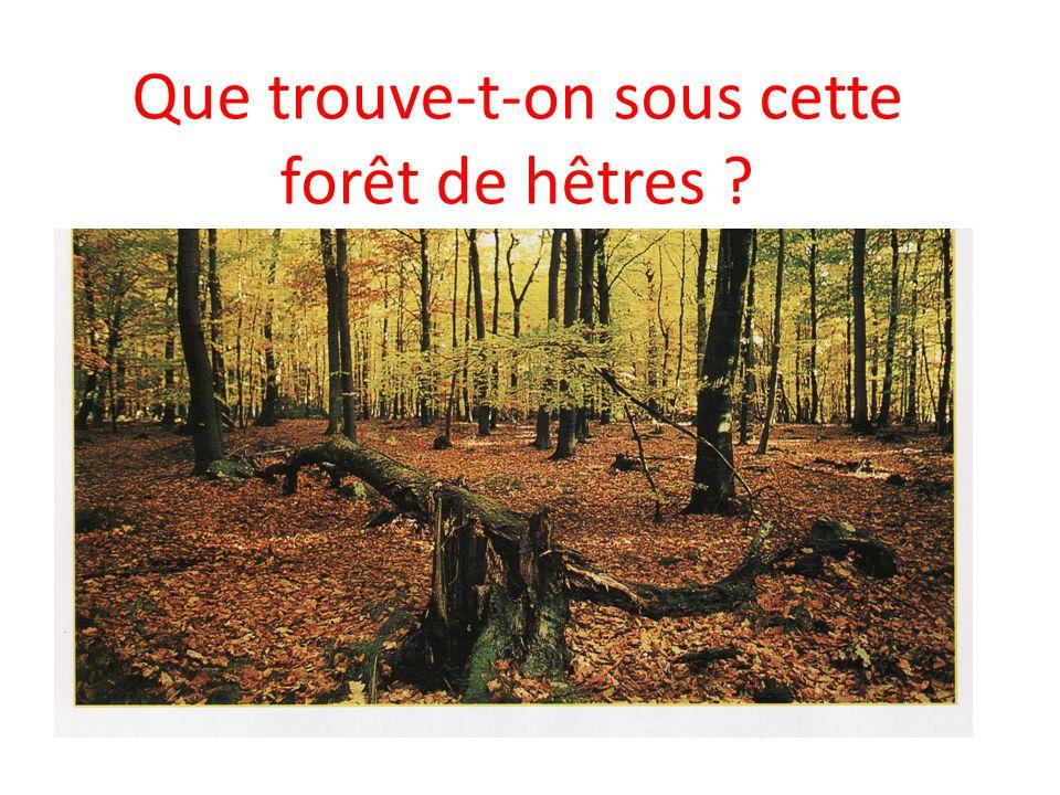 Que trouve-t-on sous cette forêt de hêtres