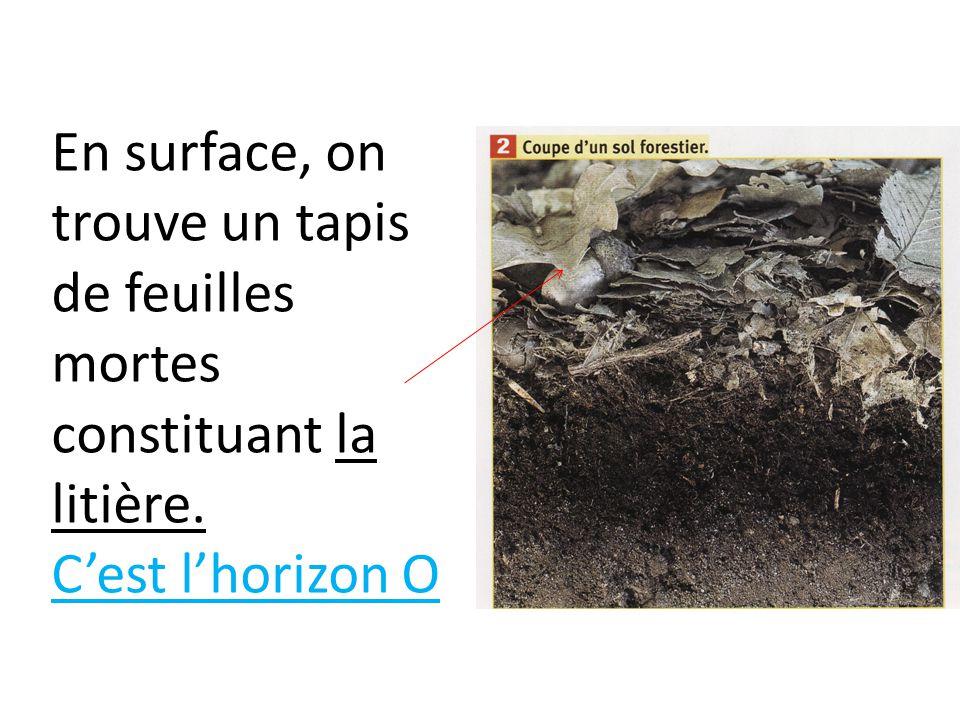 En surface, on trouve un tapis de feuilles mortes constituant la litière.