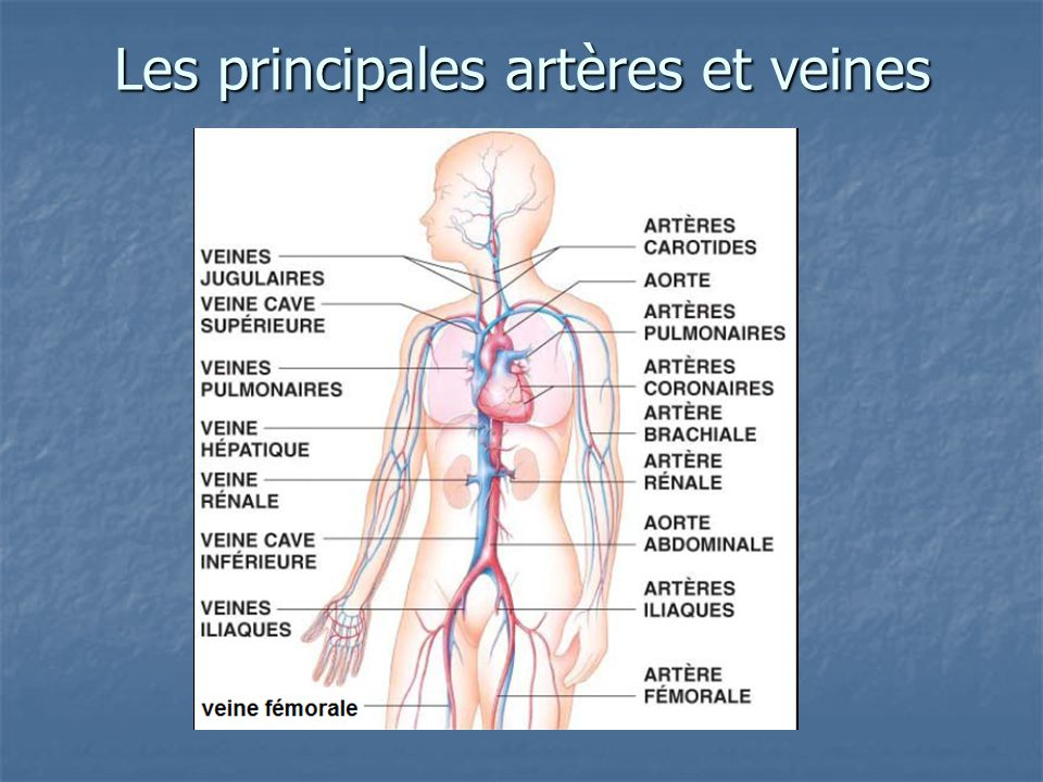 Les principales artères et veines