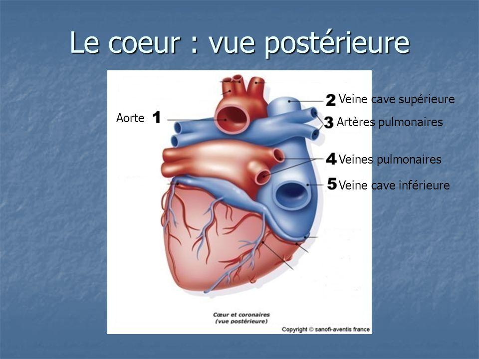 Le coeur : vue postérieure