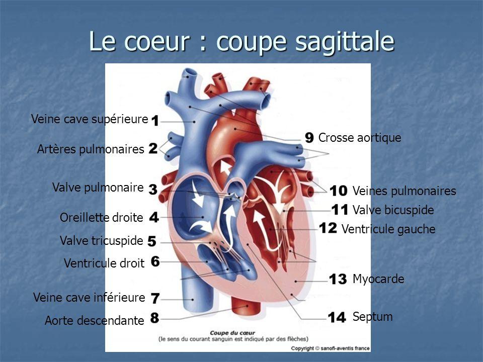 Le coeur : coupe sagittale