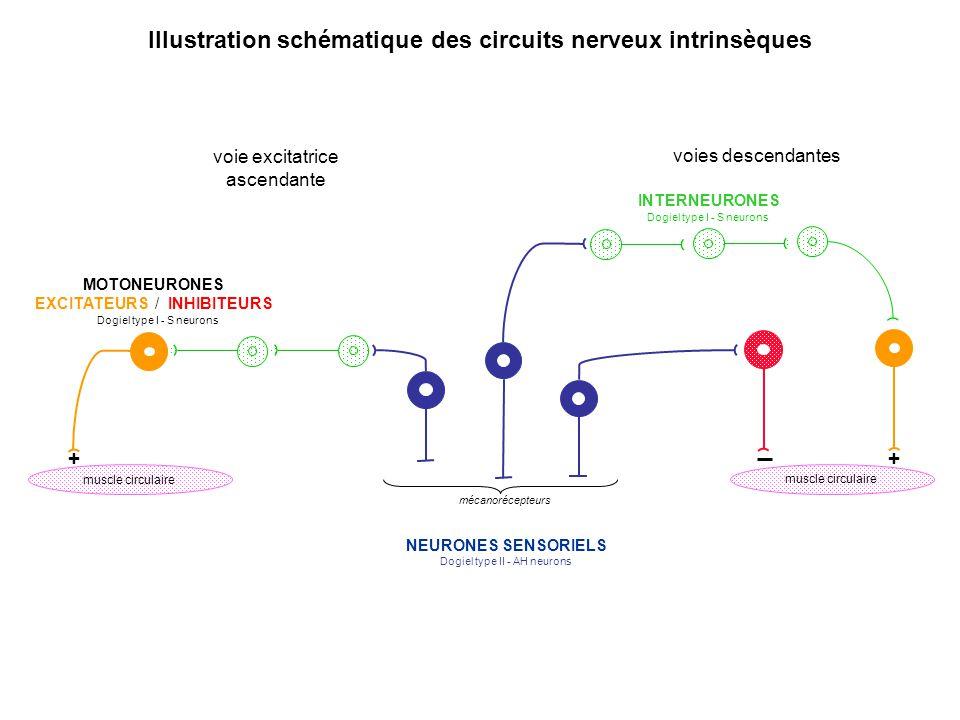 Illustration schématique des circuits nerveux intrinsèques