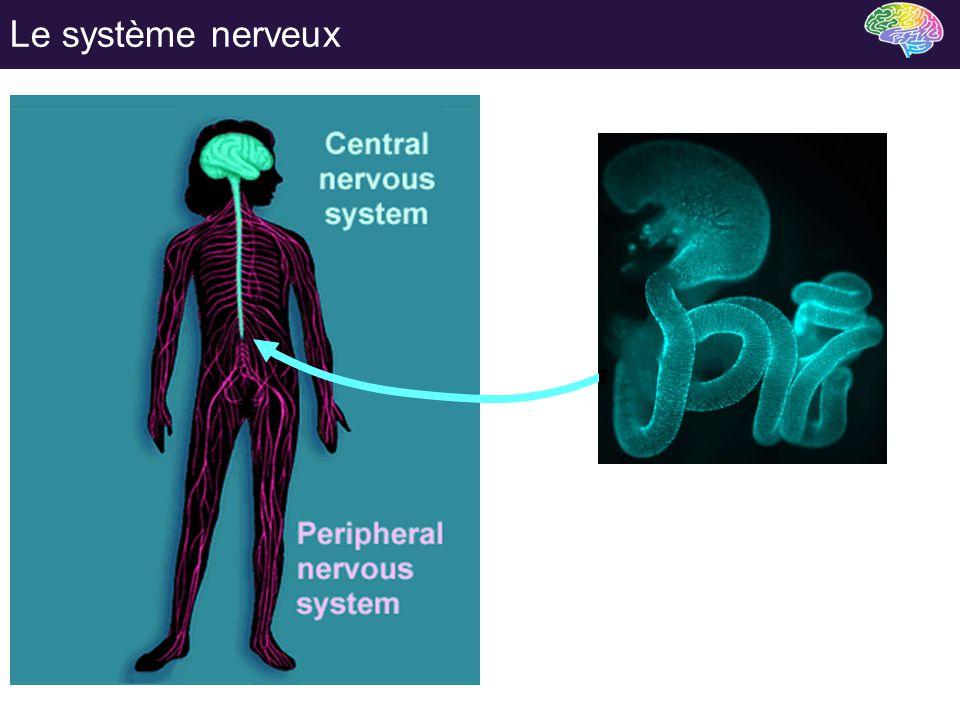 Le système nerveux Qu'est ce que le système nerveux