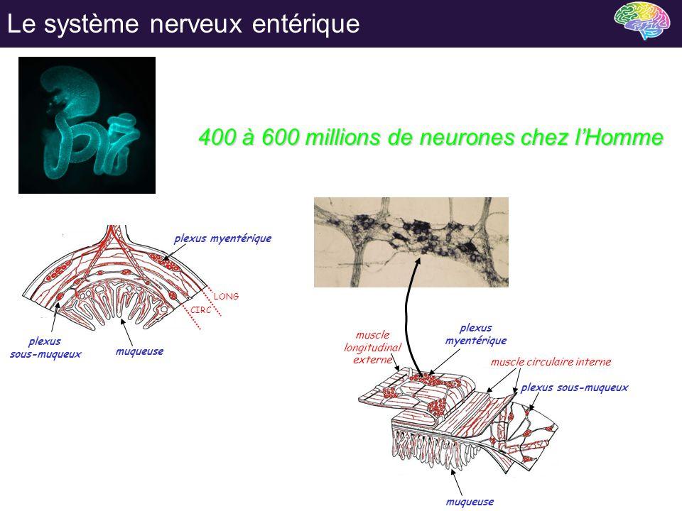 Le système nerveux entérique